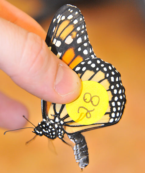 monarch specimen