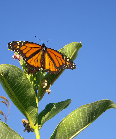 Research Monarch Milkweed